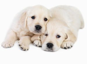 lab pups: Animals, Puppies, Dogs, Puppys, White Lab, Labrador, Pets Pets, Golden Retriever