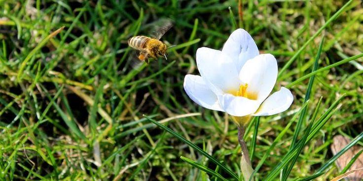 FORÅRSBLOMSTER TIL DINE BIER - Attract bees with flowers