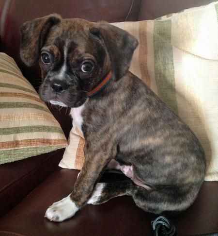 Buddy the Mixed Breed | Puppies | Daily Puppy | Boxers are ...