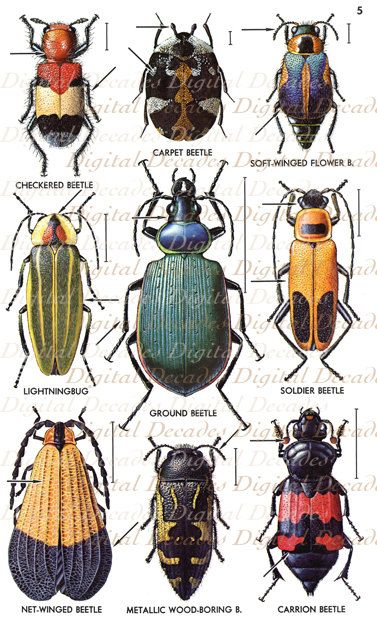 Vintage Beetles Illustrations  Bug Insects by DigitaIDecades, $2.50