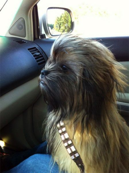 Holy crud, if that is not my dog idk what is. I always said she looked like an Ewok but I guess she would make a good Chewy too! Reminder: Do not cut her hair down ever again! She needs to be this for Halloween every year! ;)