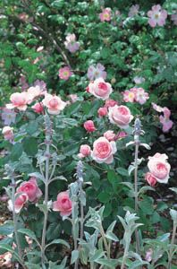 Roses show their soft side. Underplanting roses, Best David Austin Roses, Best roses for borders, Rose borders, Shrub Roses, Rose companion plants, companion planting