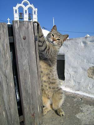 Amorgos Cat by parosfrog, via Flickr Greece. Corfu travel guide by corfu2travel.com
