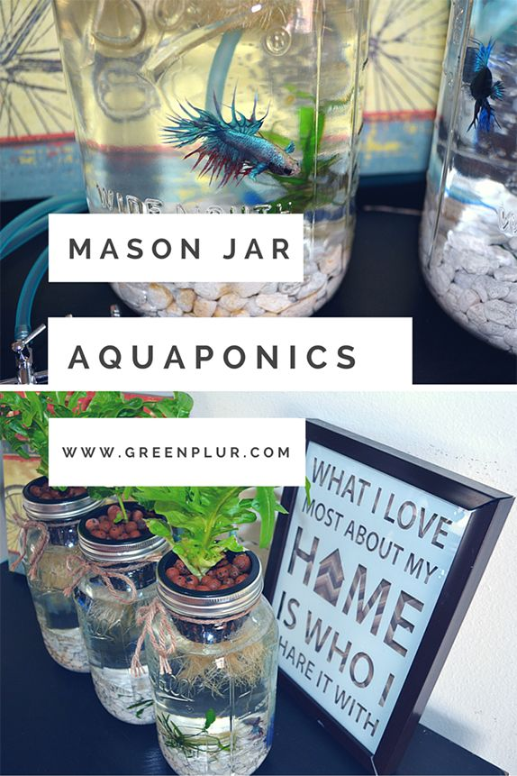 Betta fish can be used in mason jars to create a desktop aquaponics system. Growing organic salad and herbs indoors with this system from green plur. Herb garden/ salad garden/ indoor hydroponics garden. Sustainable