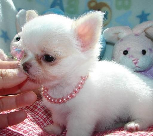 Little Princess~Baby Chihuahuas, Cutest Dogs, Pink Puppies, White Chihuahuas, Girlfriends, Ears, Box, Chihuahuas Puppies, Adorable Animal