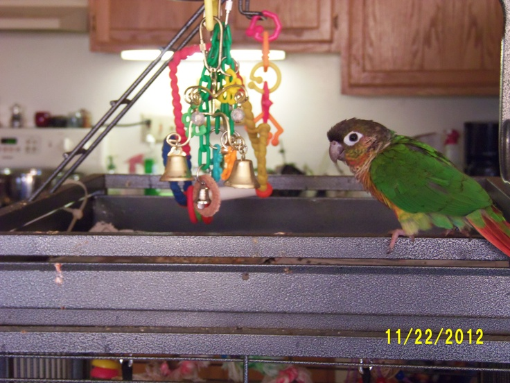 how to train a yellow sided green cheek conure