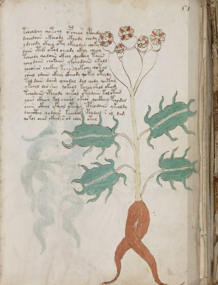 Illustration of an unusual plant in the Voynich manuscript