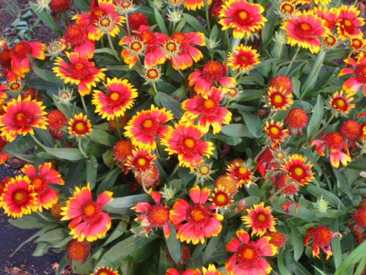 Perennial Flowers That Bloom All Summer Bayscape For