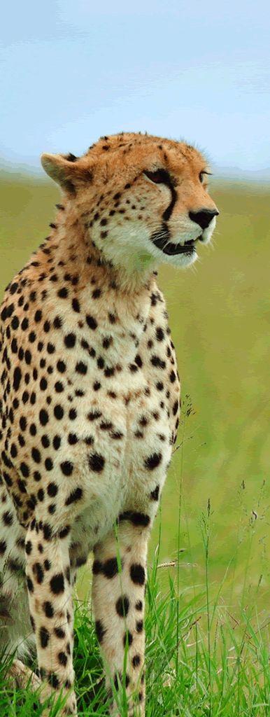 Cheetah, masai mara. #his_green 【H.I.S.】マサイマラ、チーター。