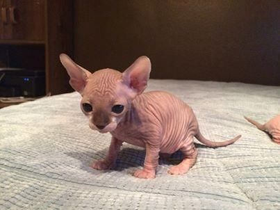 Best Food To Feed A Sphynx Kitten
