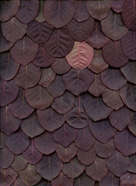 bnreimels: limilee: balsiek: 45881 Cotinus coggygria 'Royal Purple' by horticultural art on Flickr.