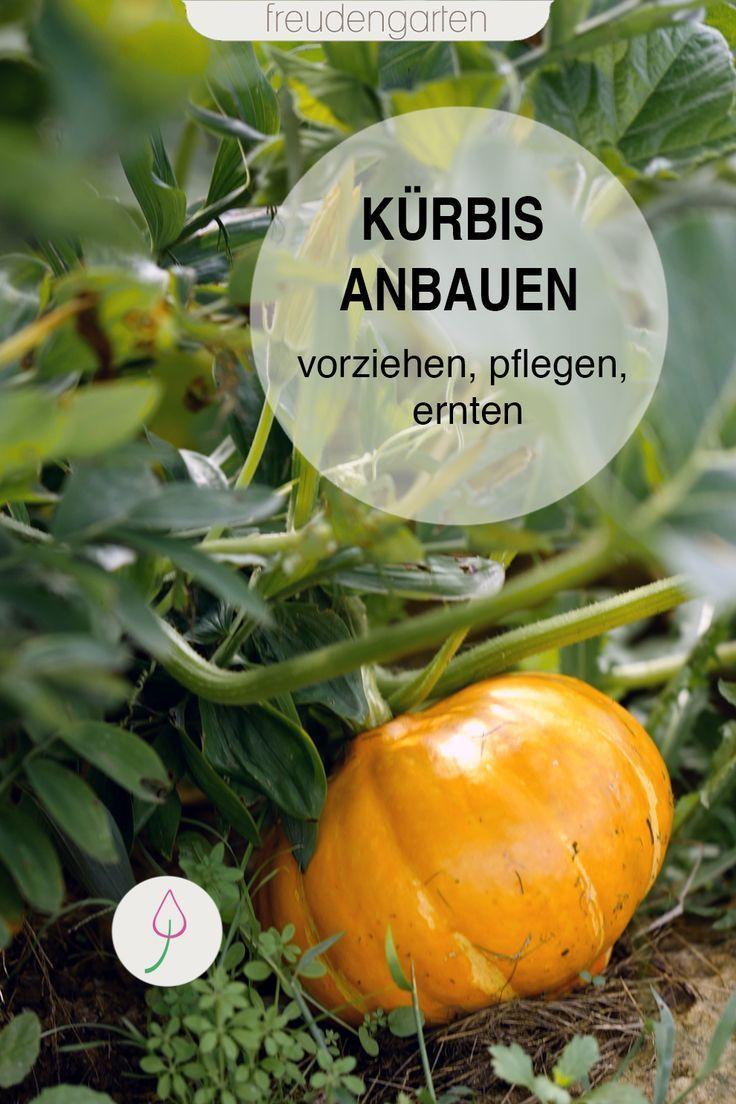 Kurbis Anbauen Kurbis Anbau Kurbis Pflanzen Garten