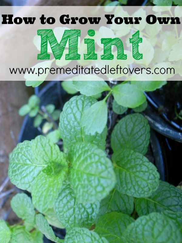 How to Grow Mint - For example for fresh mint tea every day