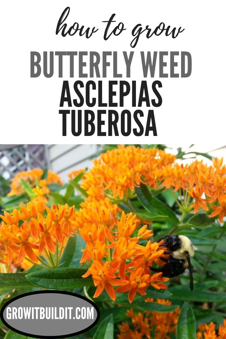 Learn How To Grow Erfly Weed Asclepias Rosa From Seed This Plant Will Add Lots Of Color Life Your Garden
