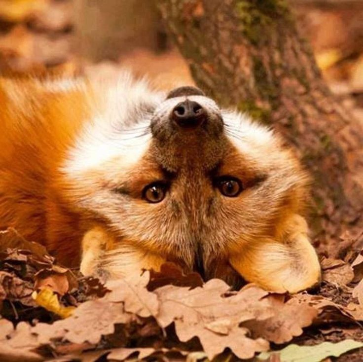 Red Fox Doing a Little Day-Dreaming.