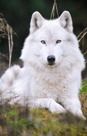 Lobo blanco ...