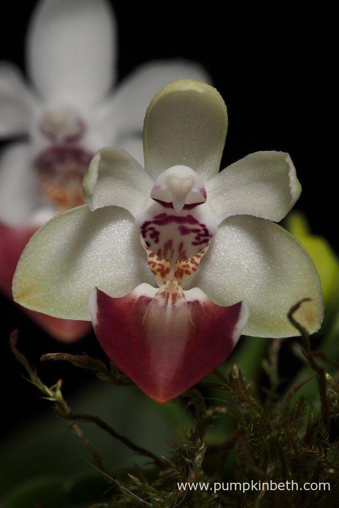 BiOrbAir Review - Growing Miniature Orchids in the BiOrbAir (part eleven) - Pumpkin Beth