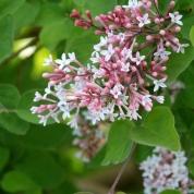 Syringa microphylla 'Superba' - Dwerg sering