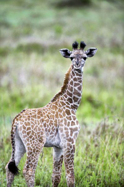 Aww i love baby giraffs :)