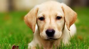 Remèdes maison contre les puces de chiens