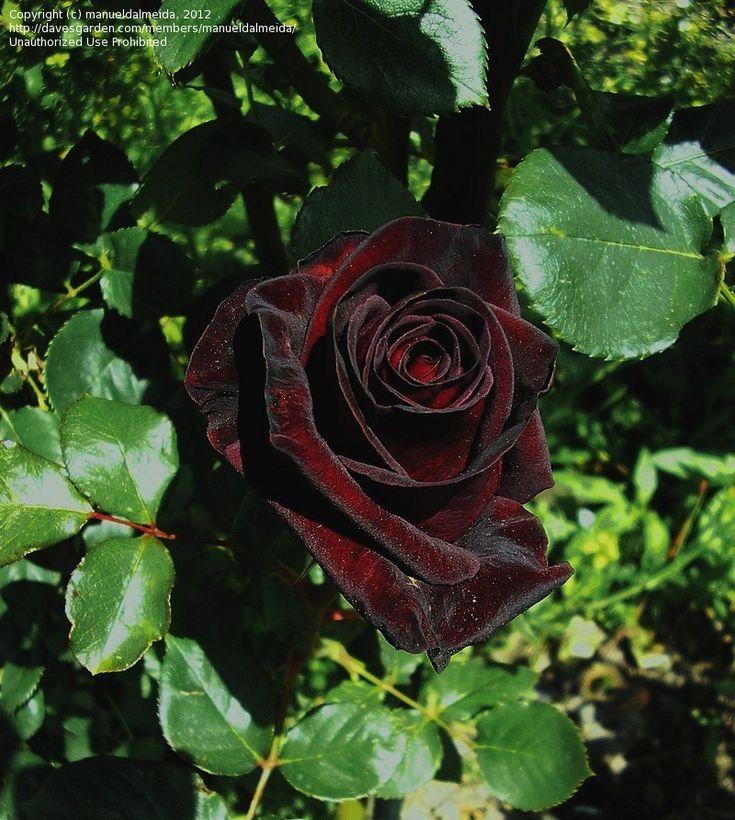 Rose 'Black Baccara' (Hybrid Tea Rose)...must have in my front yard!