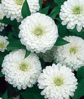 "Zinnia, White Wedding burpee seeds  The most brilliant white zinnia ever seen—with large, 4-5"" double dahlia blooms flowering nonstop. Snowy white blooms stay pristine. Great cut flowers.  lifecycle: Annual   Uses: Beds, Container, Cut Flowers   Sun: Full Sun   Height: 12-16  inches  Spread: 8-10  inches  Sowing Method: Direct Sow/Indoor Sow   Bloom Duration: 12  weeks"