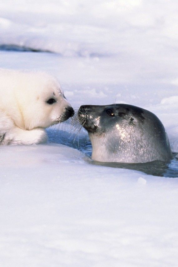 Can you imagine killing these precious souls for their fur while their mothers look on?