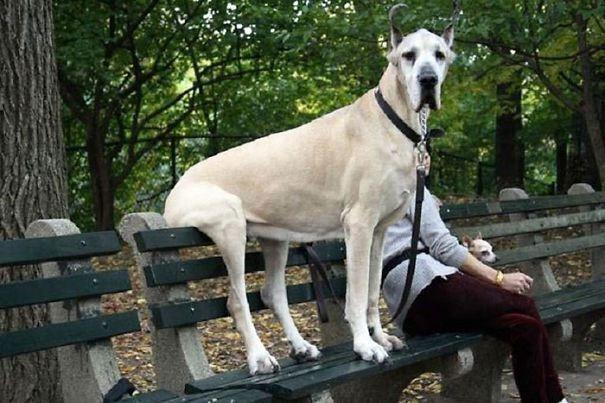 огромные собаки, которые считают себя щенками (18)