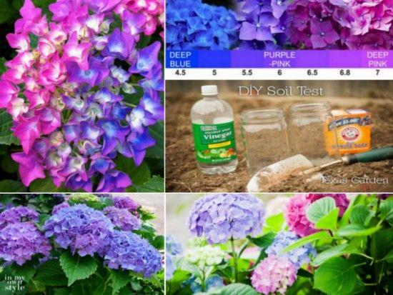 Change Colours of Hydrangeas