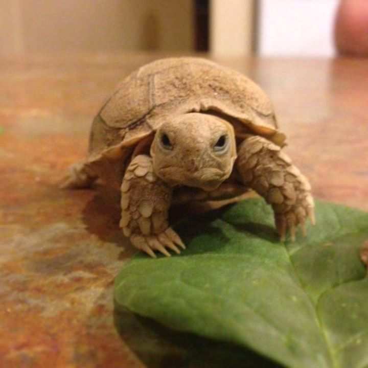 African Sulcata Tortoise. We call him Grumpy Gills...he is only one hour old in this picture!