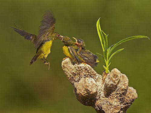 Burung Kolibri - Burung Penghisap Madu - Brown Throated Sunbird - Nectariniidae  Location : Jakarta - Indonesia