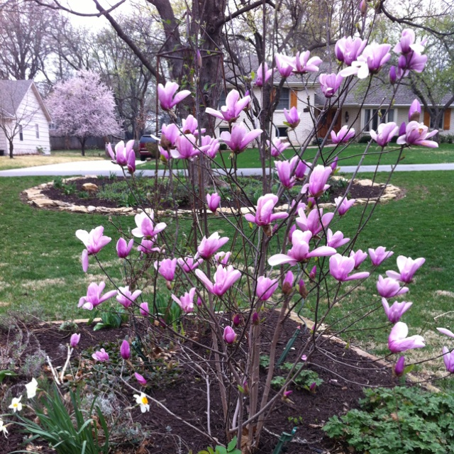 Pin By Lisa Goines Robinson On Our Yard Jane Magnolia Tree Jane Magnolia Dwarf Trees For Landscaping