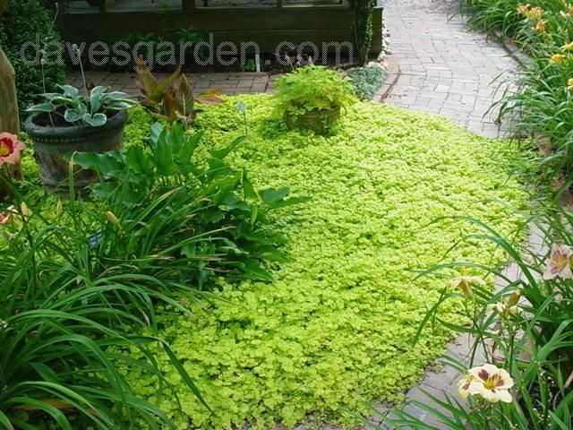 Need a great and colorful ground cover??  This is the one!  Creeping Jenny!