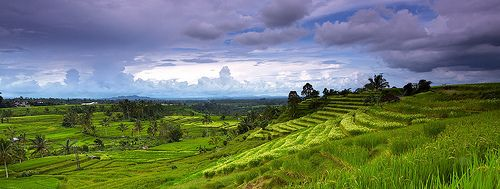 Panorama of rice terrace in Jatiluwih - Tabanan, Bali, Indonesia    Jatiluwih was recently listed as a UNESCO World Heritage Website for its preservation of traditional and natural Balinese farming techniques.