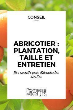 L\'abricotier est arbre un fruitier facile à cultiver. Découvrez nos conseils pour le planter et le tailler et profiter d\'abondantes récoltes.