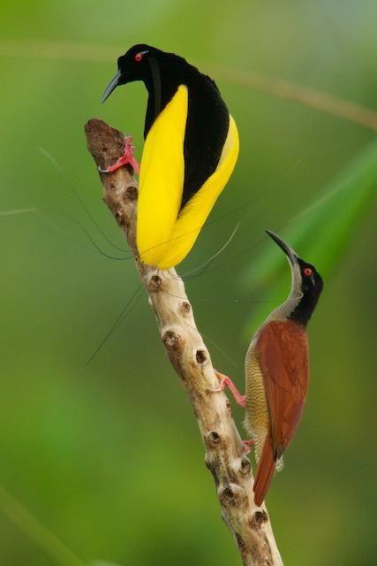 Twelve Wired Bird of Paradise