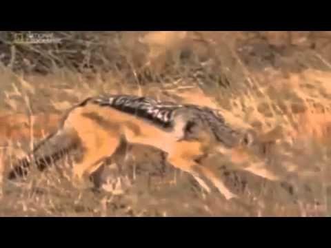 Honey Badgers  Snake Killers of The Kalahari
