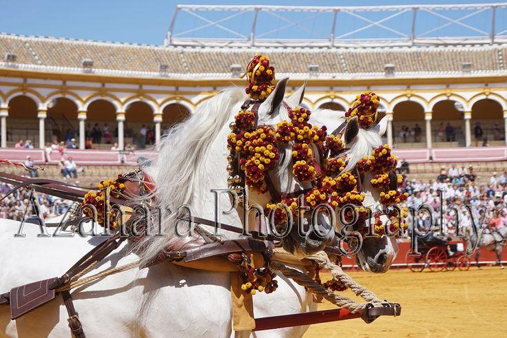 "Pair of PRE Horses with spanish harness ""Calesera""   Real Maestranza de Sevilla"