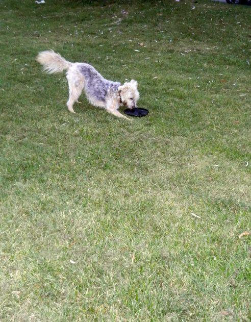 · das Hundespielzeug Kong Frisbee ist fast unverwüstlich – Kong eben! · KONG Spielzeug für Hunde - Fangspass garantiert · robustes Hundespielzeug aus flexiblem und weichen Material, das in die Tasche passt · Spielsache für Hunde bestehend aus Naturkauschuk (Latex) · diese Hundespielsache von Kong kann beim fangen oder zubeißen nicht zersplittern