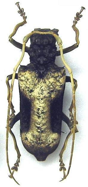 Petrognatha gigas