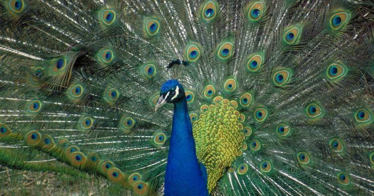 Cómo saber si un pavo real es hembra o macho. La especie de pavos reales incluye a los machos y las hembras. La impresionante imagen de un pavo real moviendo las plumas de su cola levantadas viene a la mente cuando se menciona a los pavos reales. Sólo encontrarás las coloridas plumas en los machos, ya que las hembras exhiben colores más sutiles en sus plumas. Cuando comprendas las diferencias ...
