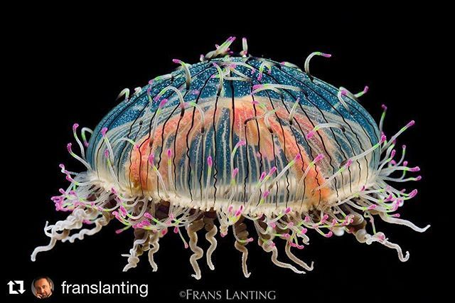 """I was spellbound when I saw the multicolored tentacles wave from the pin-striped bell of this extraordinary flower hat jelly, a drifter in sea currents which also spends time moving along the ocean floor.  The ancestors of jellies were among the first animals whose bodies exhibited an organized architecture, with groups of cells joined together as tissues that performed unified functions.  This is one of the signature images for my project """"LIFE: A Journey Through Time,"""" a lyrical…"""