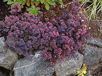Ten Sedum Vera Jameson - 10 Live Fully Rooted Perennial Plants by Hope Springs Nursery - Stonecrop - Succulent foliage $27.70