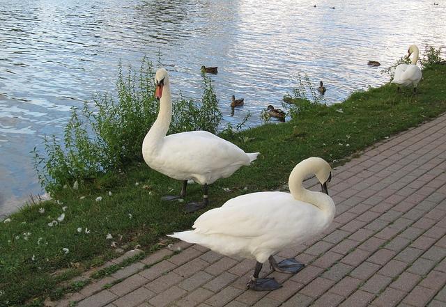 Swans at Avon River, Stratford, Ontario, Canada