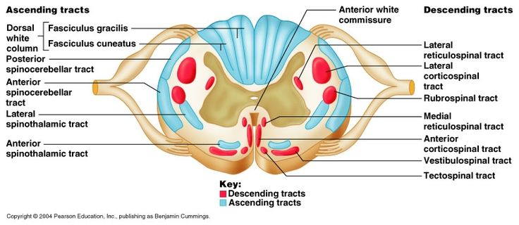 Best 25+ Spinal cord anatomy ideas on Pinterest | Spinal ...