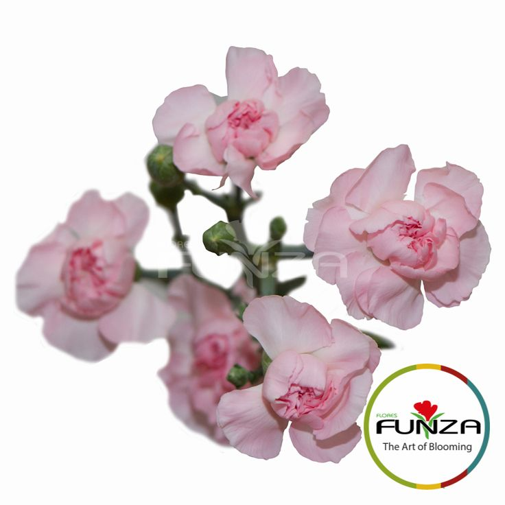 Pink Spray Carnation from Flores Funza. Variety: Pearl Lady. Availability: Year-round.