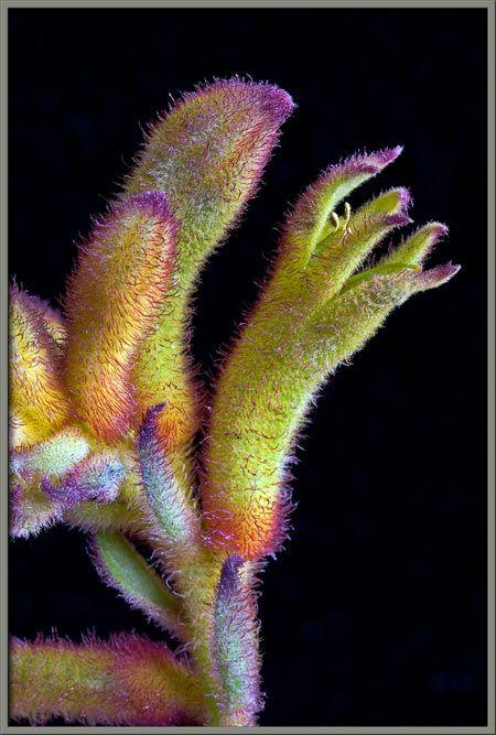 ✯ Kangaroo Paws (Anigozanthos) - Australia