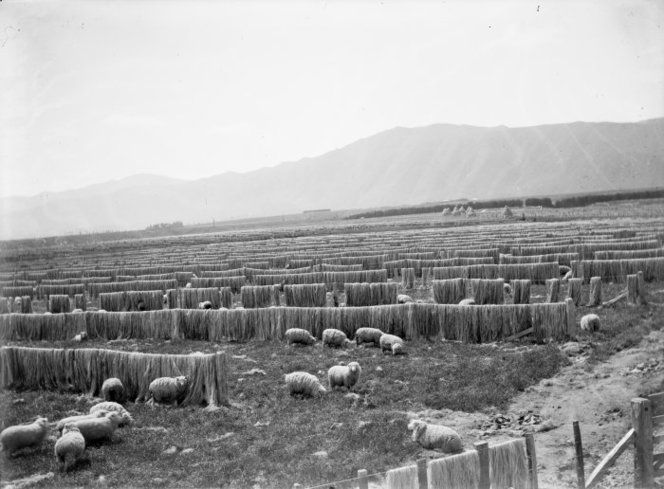 Bleaching and dying paddocks at Miranui flaxmills, showing racks of fibre Bleaching and dying paddocks at Miranui flaxmills, showing racks of fibre. Adkin, George Leslie, 1888-1964 :Photographs of New Zealand geology, geography, and the Maori history of Horowhenua. Ref: 1/2-065687-G. Alexander Turnbull Library, Wellington, New Zealand. http://natlib.govt.nz/records/23110924