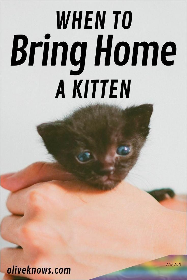 If You Are Wondering When Can You Bring Home A Kitten This Article Is For You Check Out How To Introduce It To The Family In 2020 Kitten Proofing Kitten Kitten Care