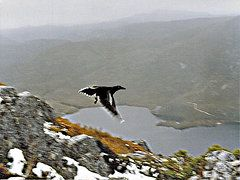 Featured Art - Carrawong in Flight over Cradle Mountain  by Sarah  King